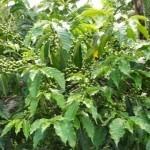 Organic Coffee Beans Growing on Kahangi Estate