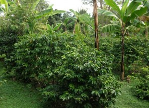 Arabica Coffee organically grown in the shade of banana trees
