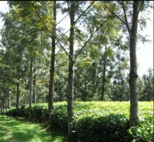 Tea was first planted in 1935 at Kahangi Estate