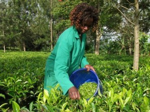 Tea pluckers select and pluck only the young growing tip and two leaves.